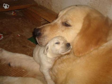 urgente cuccioli  golden retriver  cerca  casa