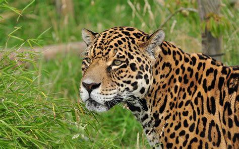 jaguar cat fantastic jaguar cat muzzle wallpaper 2560x1600 166513