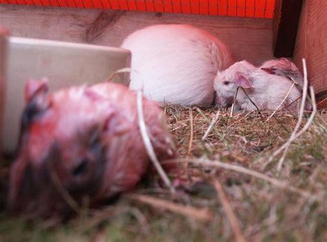 babies  born guinea pigs swinnynet