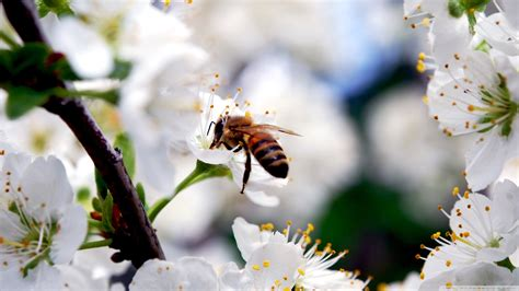 bee  cherry flower  hd desktop wallpaper   ultra