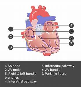 The Electrical Conduction System Of The Heart
