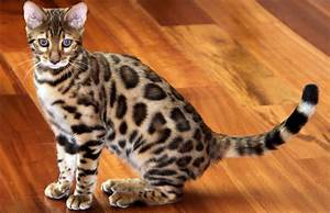Exotic Spotted and Marbles Bengal Cats HD Photos ...