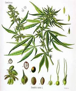 marajuana studies