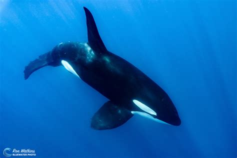 Face-to-face With Killer Whales|underwater Photography Guide