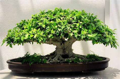 bonsai ficus ginseng retusa benjamina bonsai entretien