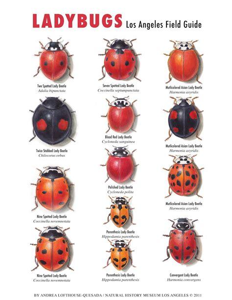 ladybug vs asian beetle paper cabinet of curiosities ladybugs in la