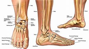 Lateral And Medial Malleolus - Anatomy