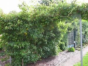 Mini Kiwi Schneiden : mini kiwi schneiden kiwistrauch im garten pflanzen 10 besten sorten pflege und schneiden ~ Orissabook.com Haus und Dekorationen