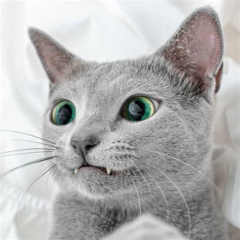 mesmerizing   russian blue cats  green eyes