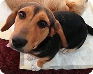 ALLIE | Adopted Dog | Walker, LA | Beagle/Black and Tan ...