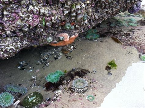 tide pool at base if haystack rock cannon beach oregon
