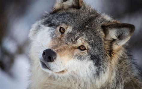 wolf baby hd images