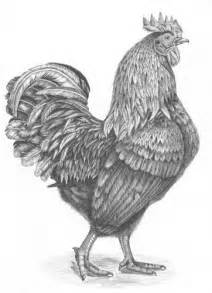 Chicken Roosters Drawings