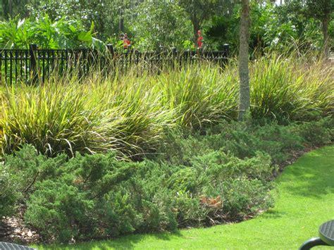grass plants for landscaping fakahatchee grass fl native juniper garden inspiration pinterest grasses shrub and