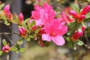 Wann Blüht Der Rhododendron : japanische azalee wann ist bl tezeit ~ Eleganceandgraceweddings.com Haus und Dekorationen