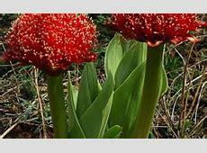 Brachystelma barbarea Wildflower Nursery