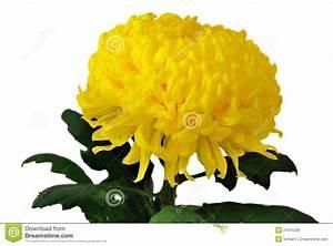 Purple Chrysanthemum Clipart | ClipArtHut - Free Clipart