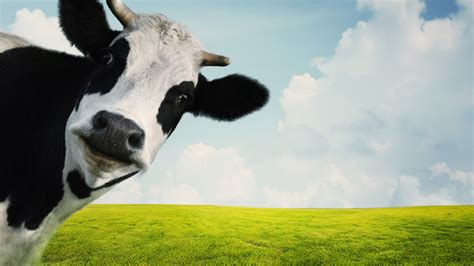 Definition Of Cowhide by Ask Umbra Are Cows Really As Bad For The Climate As They