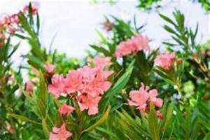 Braune Blätter Am Rhododendron : oleander hat braune flecken ursachen und ma nahmen ~ Lizthompson.info Haus und Dekorationen
