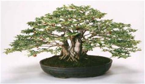 limoncillo limeberry triphasia trifolia care sheet