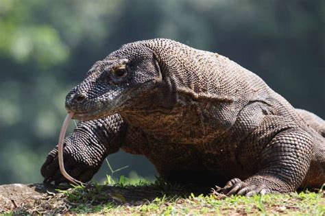 10 Amazing Facts About Komodo Dragons  Mental Floss