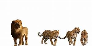 African Lion vs 3 Jaguars - Battles - Comic Vine