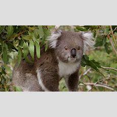 Victoria's Strzelecki Koalas Need Protection  Green Left Weekly