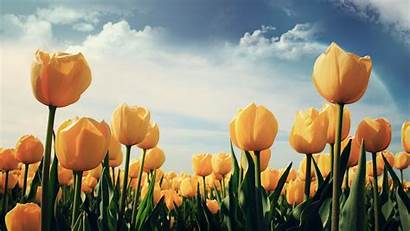 Yellow Tulips Wallpapers Flower Flowers Nice 1080