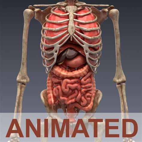 model human anatomy animated skeleton  internal
