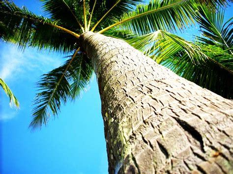 coconut tree bark stock photo freeimagescom