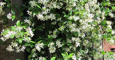 Types Of Fragrant Climbing Plants  Jasmine And Hgtv