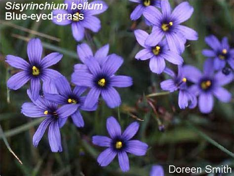 common california flowers marin cnps common bay area spring wildflowers