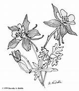Columbine Colorado Coloring Drawing Botanical Sketch Drawings Designlooter sketch template
