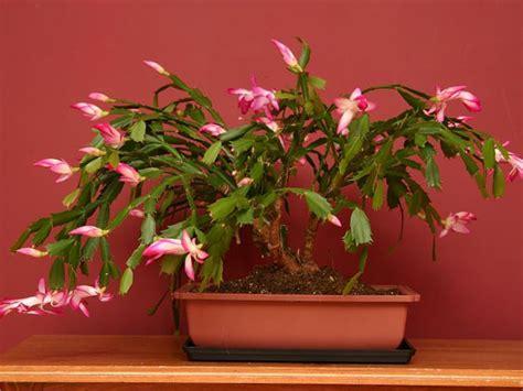 Christmas Tree Sapling Care christmas plants to decorate your house boldsky com