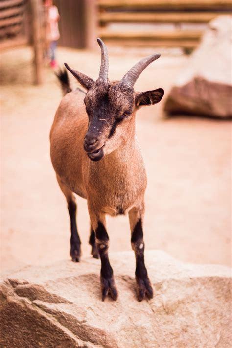 brown goat  gray rock photo  goat image  unsplash