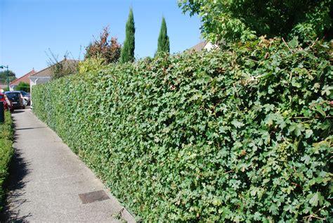 Zaun Begrünen Immergrün by Acer Cestre