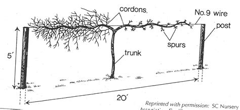 how to prune concord grape vines pruning and training grapes university of maryland extension