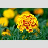 Marigold Flower Wallpaper | 2048 x 1360 jpeg 964kB