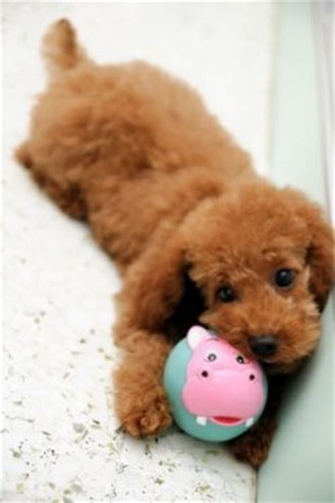 images  small dogs  pinterest  dog
