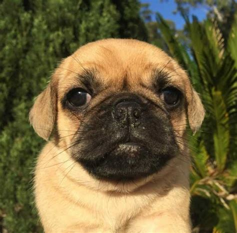 puggle puppies  sale sydney dogs puppies pets