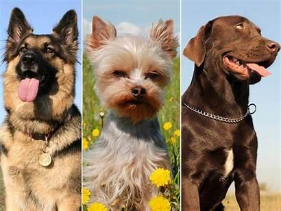 Dog Breeds Breed Puppy Which Today Break