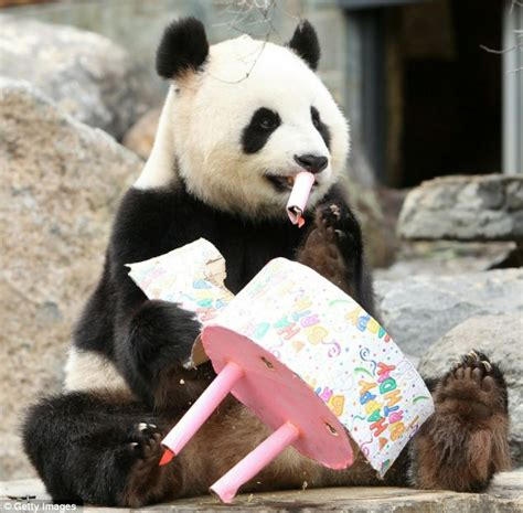 giant panda celebrates birthday  zoo   cake daily