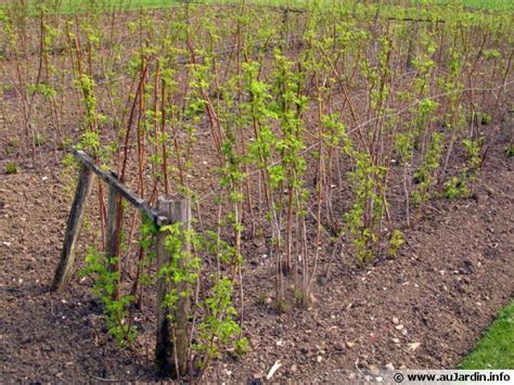 planter des framboisiers en pot la plantation du framboisier