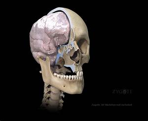 3d Female Nervous System Model