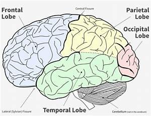 Brain Lobes Diagram Unlabeled