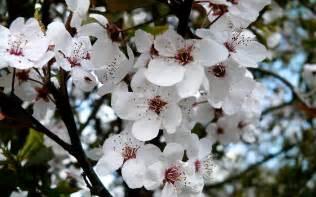 Desktop Wallpapers Spring Cherry Blossoms