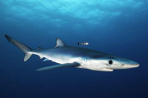 uk shark alert warning  brit swimmers due  high