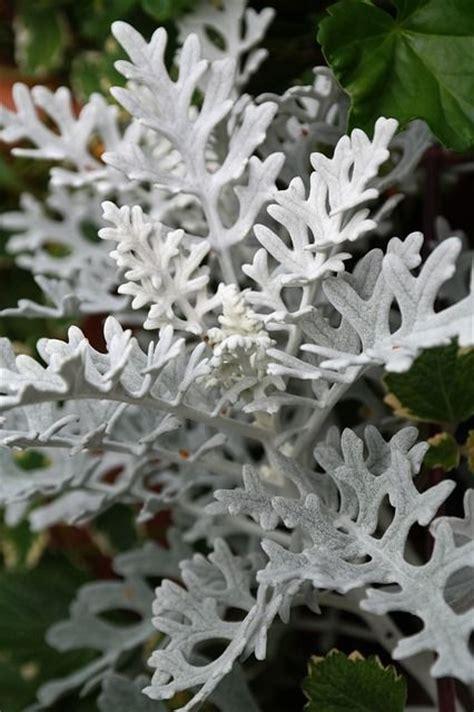Free Image On Pixabay  White Fuzzy Groundsel, Plant