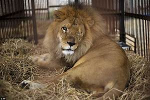 This Sad-Looking Lion Was Rescued From A Circus In Peru ...