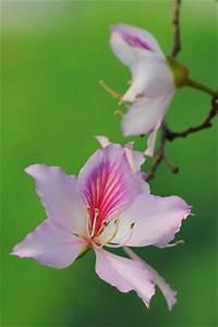 Oleander Stecklinge Wurzeln Nicht : orchideenbaum bauhinia variegata pflege schneiden und ~ Lizthompson.info Haus und Dekorationen